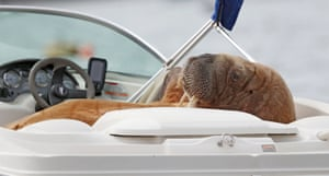 Wally the Arctic walrus lounges in a speedboat at Crookhaven, County Cork, Ireland.