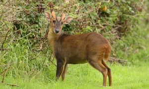 A muntjac deer, which causes damage to woodlands.