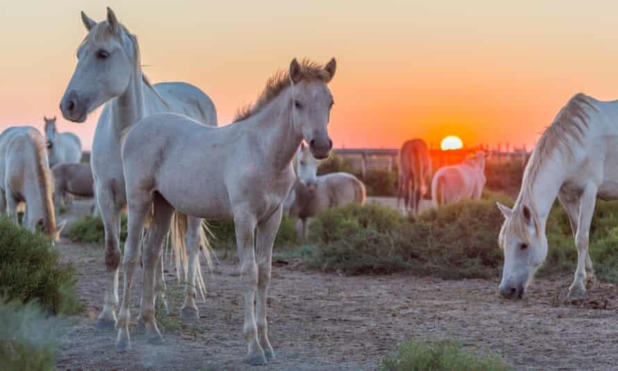 Herd of Camargue horses at Sunrise, Saintes-Maries-de-la-Mer, Parc naturel régional de Camargue, Languedoc Roussillon, France