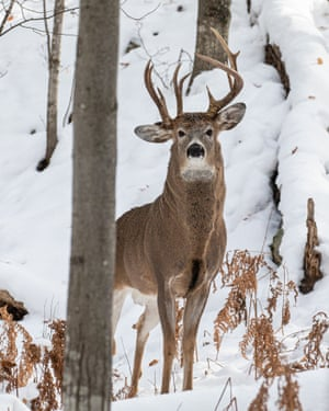 The three-antlered deer in Marquette, Michigan, spotted by Steve Lindberg.