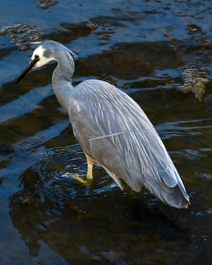 A white faced heron in Elsternwick park