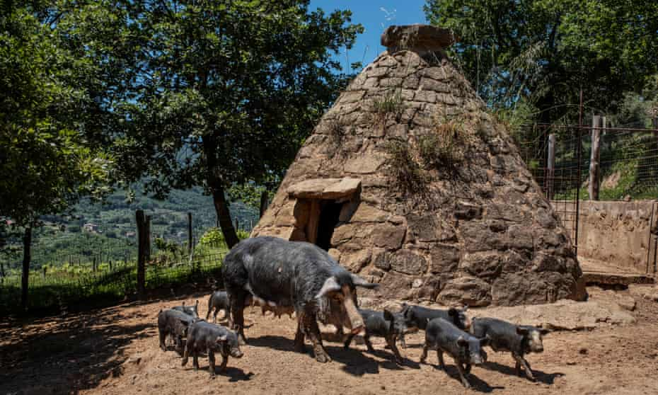 Black pigs, Sicily