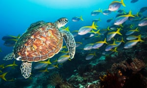Coral reef scenery with a Green sea turtle and fusiliersGreen turtle [Chelonia mydas] with a school of Deep-bodied fusiliers (Caesio cuning) in background.