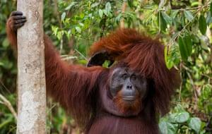 Doyok, a male orangutan in Tanjung Puting, Borneo.