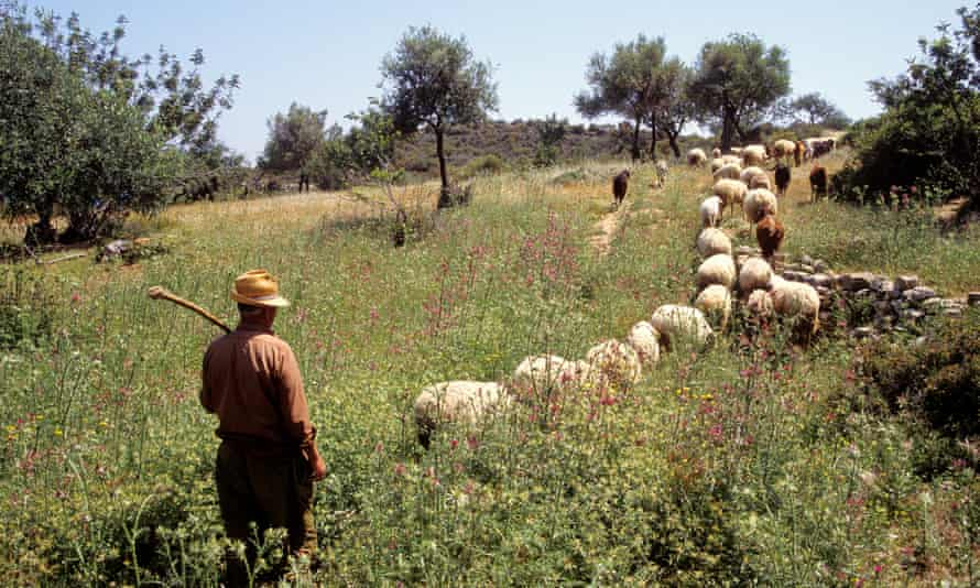 A Cypriot farmer with his herd. Officials are seeking an EU ruling to ensure the cheese can only be made  on the island.