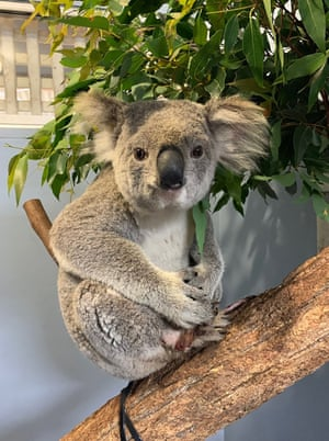 Wazza, a very lucky young female koala who was hit by a car. She was dragged six miles (10km) at high speed, and the driver was unaware until he stopped the vehicle. Wazza is in the care of the Koala Hospital Port Macquarie with minor injuries