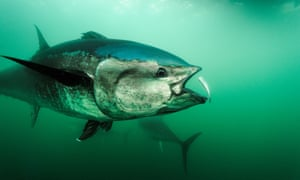 An Atlantic bluefin tuna feeds in the waters of Canada's Gulf of Saint Lawrence.