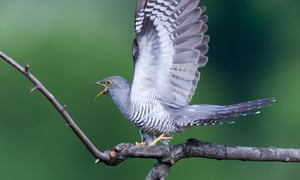 The common cuckoo, the only one of three cuckoo species found in Europe to visit Britain, and on the red list.