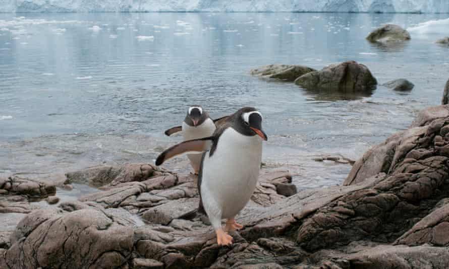 Gentoo penguins at Neko Harbour.