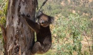 A koala climbs a eucalyptus tree