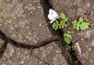 A small white butterfly sits on a plant between cracks in the dried-out ground of a forest lake near Erfurt, central Germany
