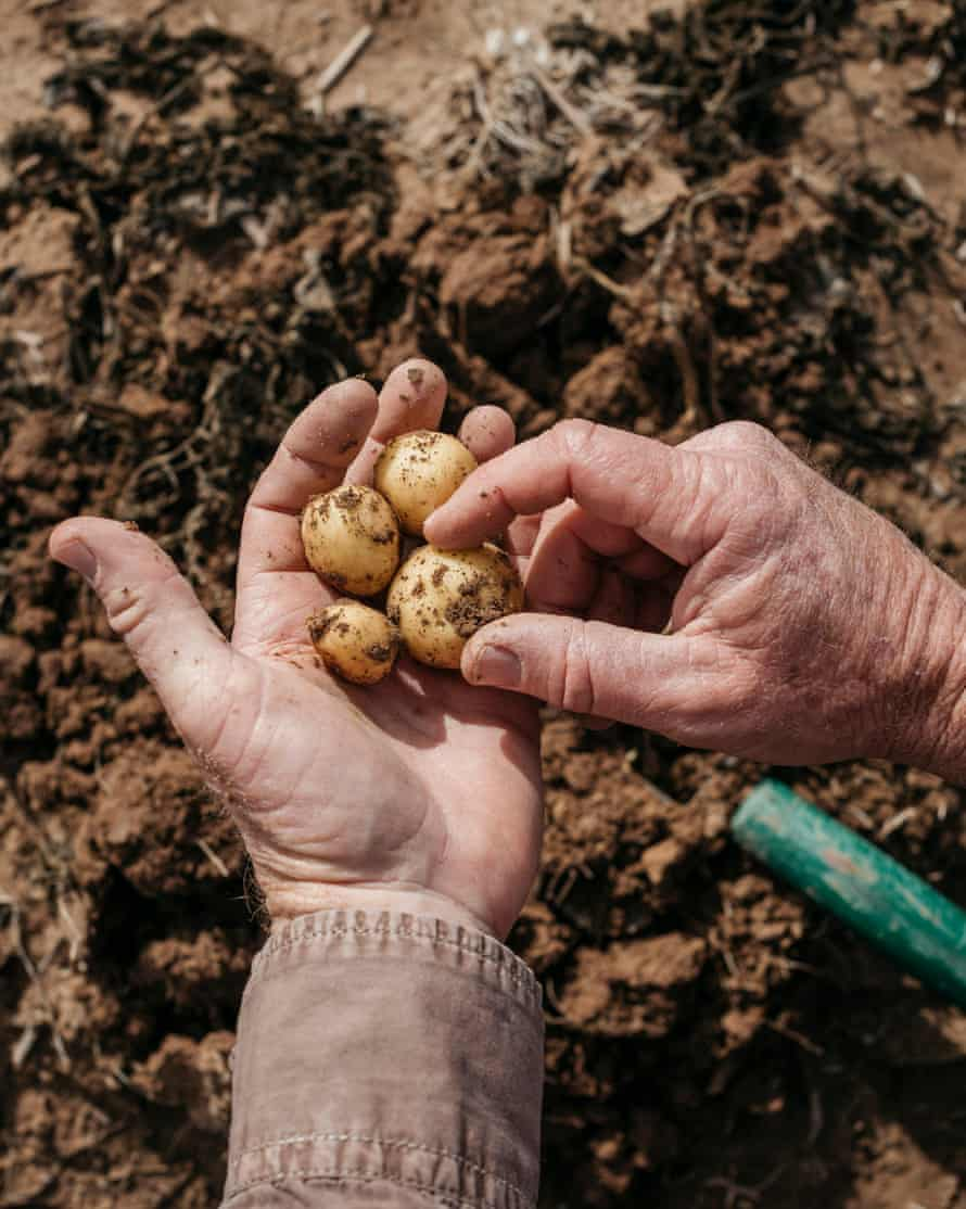 The baby potatoes grown at Chaffin Farms, Blythe, California, USA, 2019
