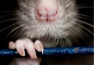 A large rat.
