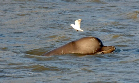 A whale swims in the Thames in London, 2006.