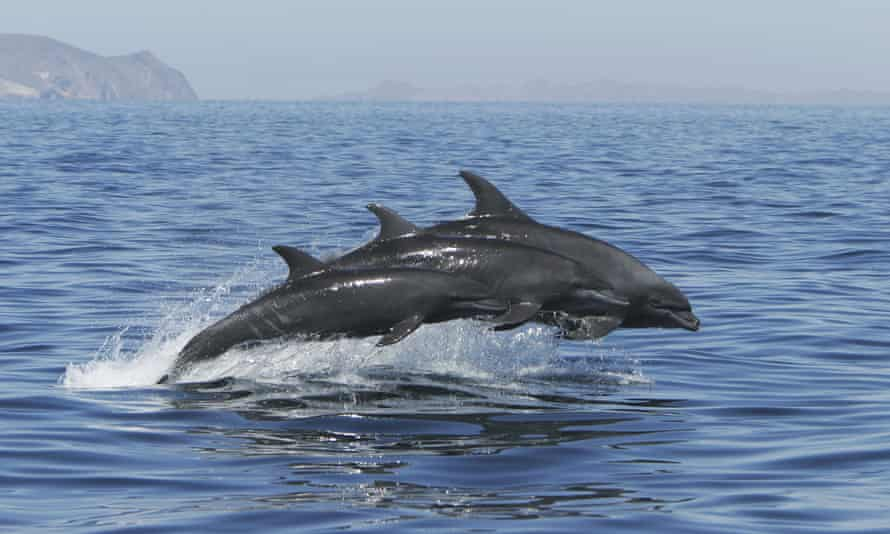 Adult Pacific bottlenose dolphins (Tursiops truncatus gilli) jumping at surface, upper Gulf of California, Sea of Cortez, Mexico