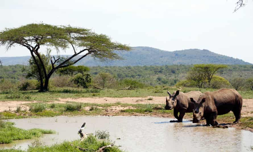 Two white rhinos in Hluhluwe-iMfolozi park, South Africa
