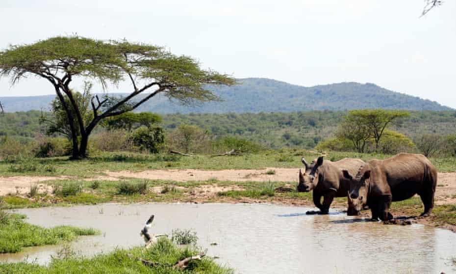 White rhinos in the Hluhluwe-Imfolozi game park, near Semkhele, South Africa.
