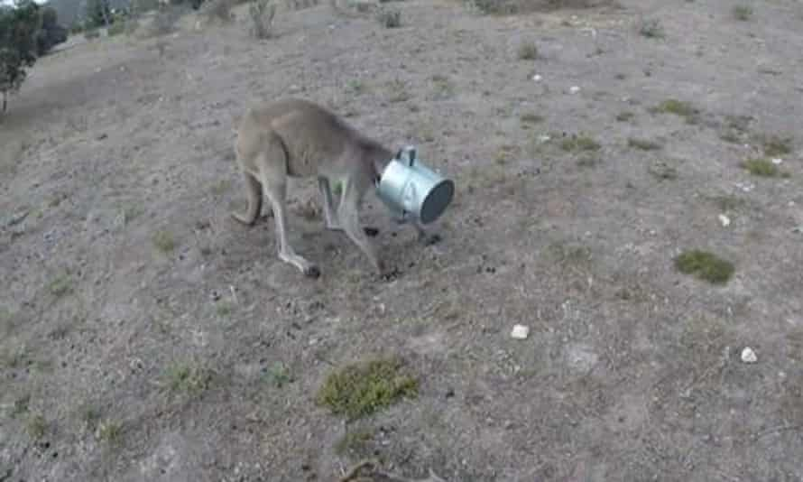 The kangaroo found on a golf course in Coffin Bay.