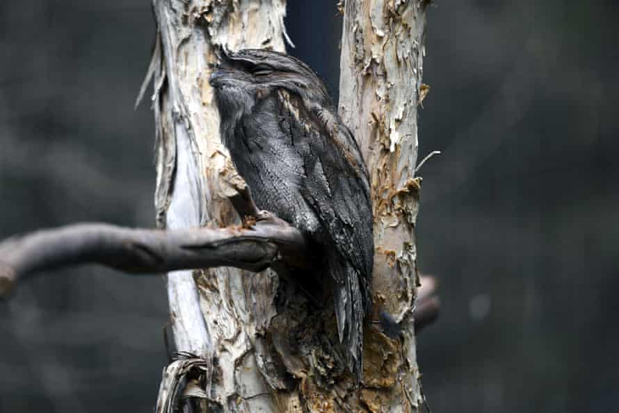 The tawny frogmouth came second in the 2019 Australian bird of the year poll