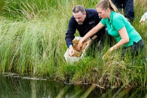 Water voles are released in Kielder Forest, Northumberland in the first stage of the UK's biggest reintroduction of the rodents