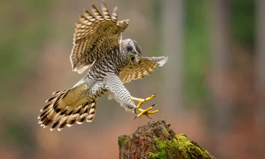 Goshawks have an unsettling ability to come and go silently