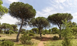 Pine forest in the Massif des Maures.