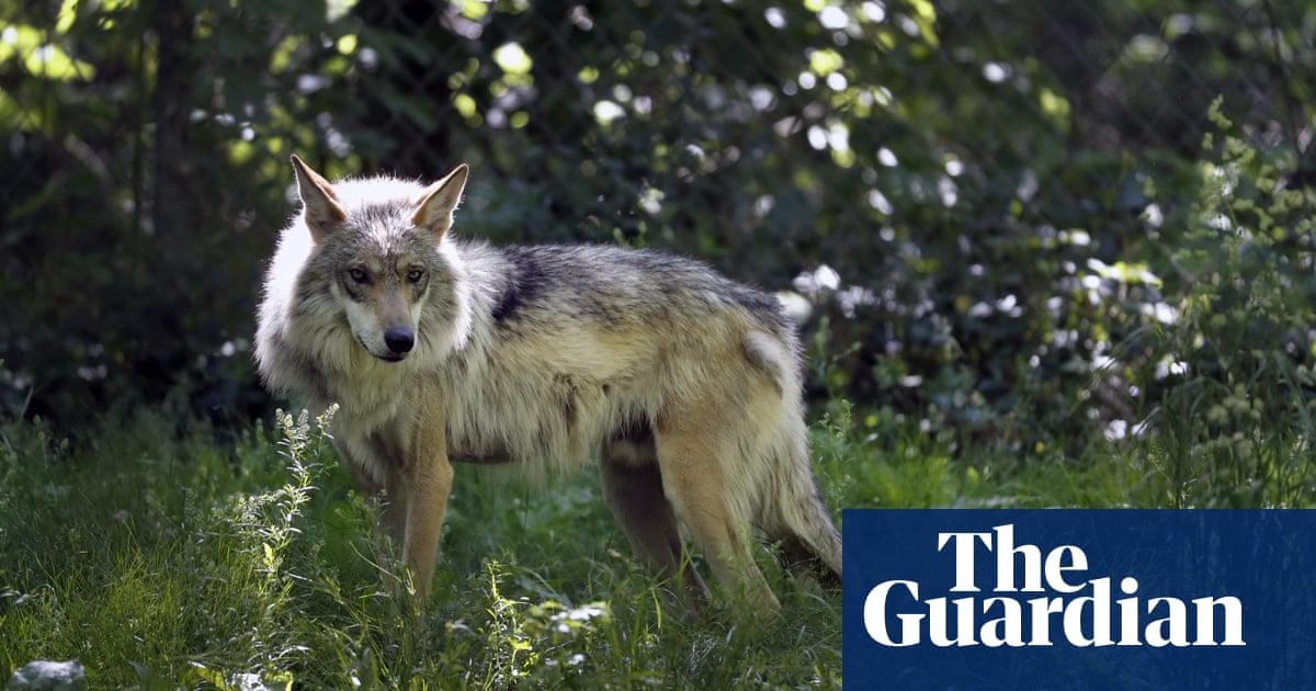 Idaho could kill over 90% of its wolves in new effort to shrink their numbers