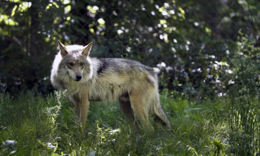 A Mexican gray wolf. Idaho's gray wolf population was recently estimated at 1,556 wolves.