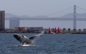 A humpback whale breaches in a lagoon off San Francisco Bay, where it has been for more than a week