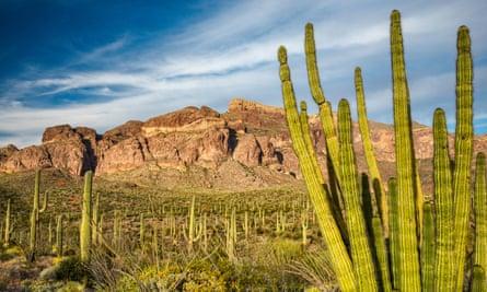 Organ pipe, saguaro cacti, Ajo Range behind, Sonoran Desert, Organ Pipe Cactus National Monument, Arizona, USA