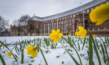 Daffodils covered in snow in Bristol