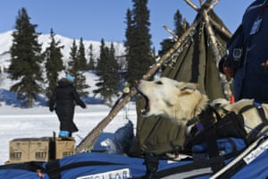 One of Paige Drobny's dogs rides in her sled as she reaches the Rainy Pass, Alaska, checkpoint, heading toward the Alaska Range mountains, Monday, March 9, 2020, during the Iditarod trail sled dog race.