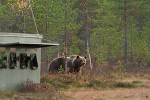 A Brown bear (Ursus arctos) walks by a nature photographers hide on its way to a swamp. Kuhmo, Finland