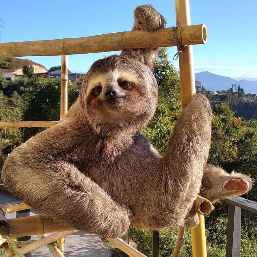The Rodriguezes have constructed climbing frames to simulate the sloths' natural environment