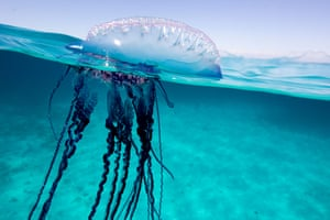 The Portuguese man-of-war