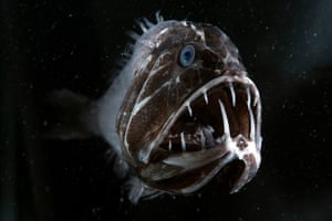 The fangtooth has the largest teeth relative to body size of any fish in the ocean.