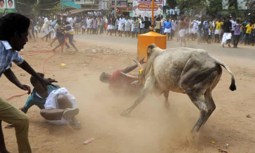 A bull charges through a crowd of jallikattu participants in Madurai, Tamil Nadu
