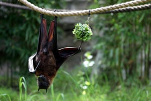 A fruit bat eats lettuce as it hangs from a rope during a behind-the-scenes interactive live stream from Oakland zoo in California, US