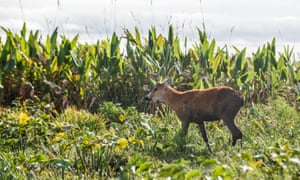 Pampas deer in the wetlands, Ibera, Argentina.