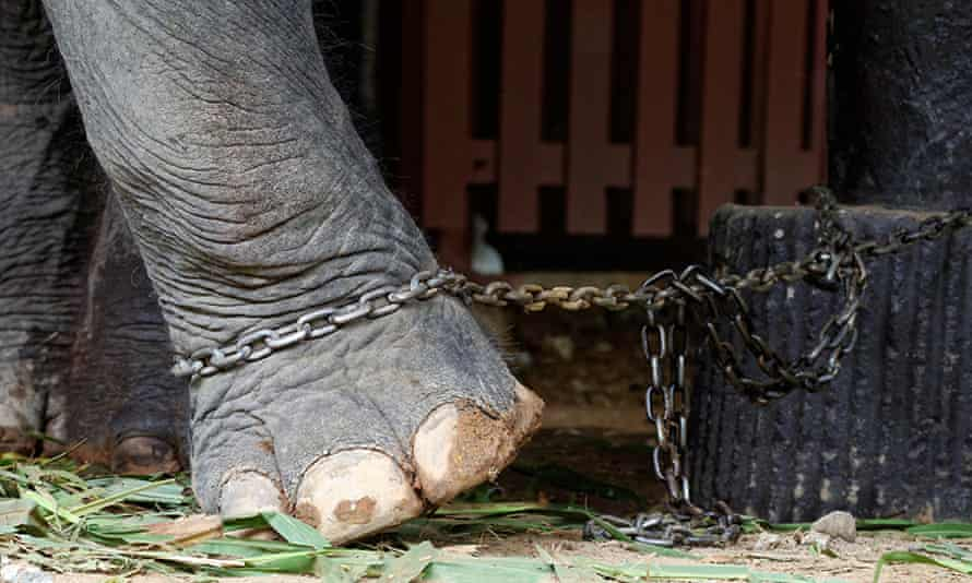 elephants in short chains
