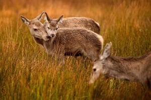 Scottish red deer graze following the end of the rutting season on in Glen Etive, Scotland