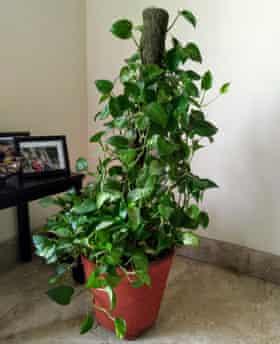 money plant.