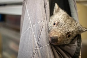 A baby wombat snuggles into a man made pouch after being rescued from his dead mothers pouch after she was killed by a speeding driver.