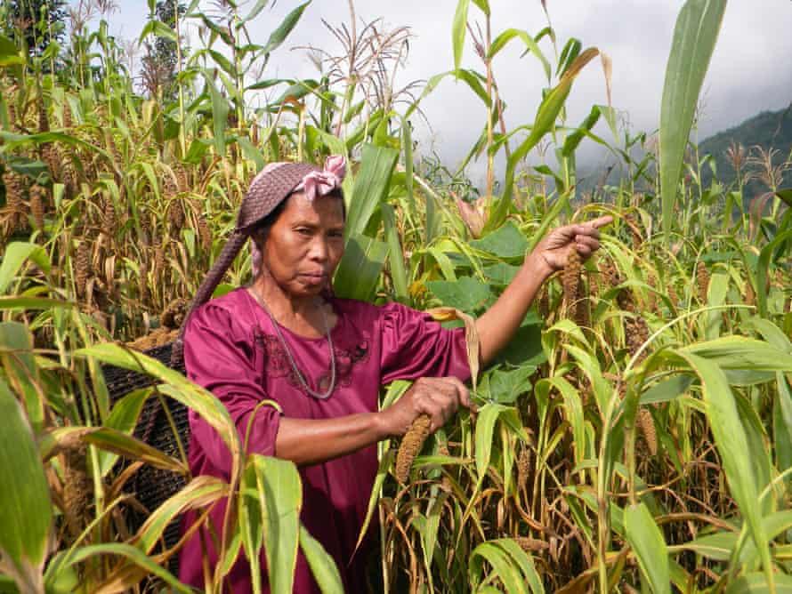 Lhouvezü-ü Lasuh harvests foxtail millet at her farm in Nagaland.