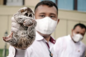An officer of the Indonesia police displays a Javan slow loris seized from poachers during a press conference regarding illegal trade of wildlife