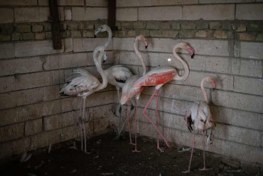 Flamingos belonging to Mustafa Ahmed Ali