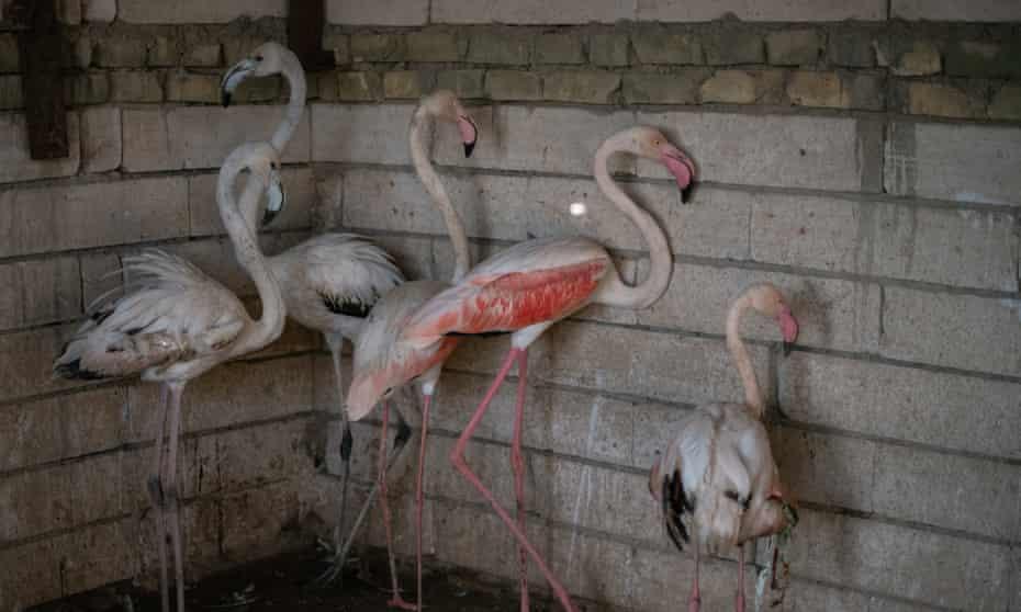 Flamingos belonging to Mustafa Ahmed Ali, a bird seller in Amara, Iraq