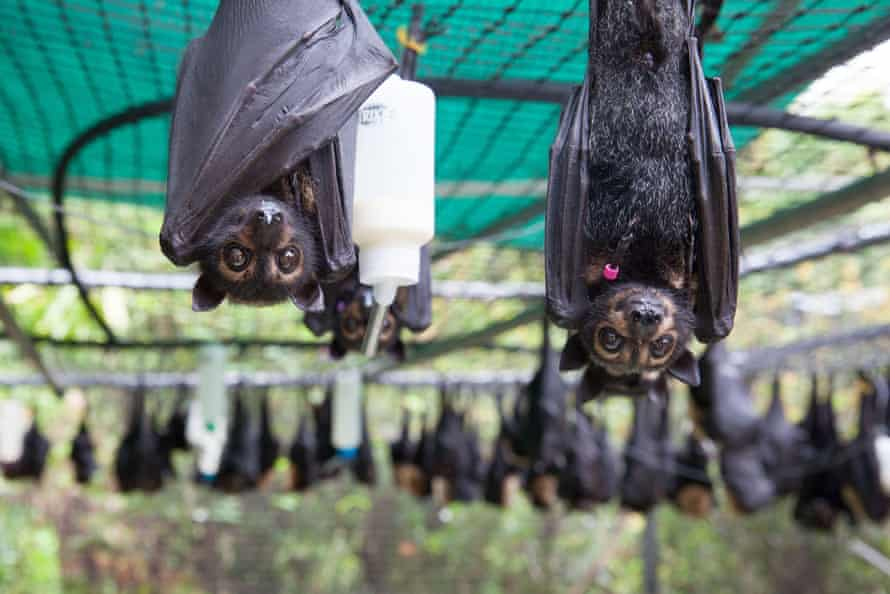 Spectacled flying-fox orphans (pteropus conspicillatus). that survived heat stress, at the Tolga Bat Hospital, Atherton Tablelands, Australia.