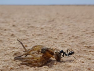 The Cataglyphis fortis dragging a spider.