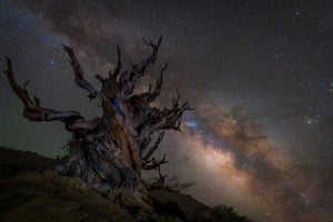 Guarding the galaxyJez Hughes (UK). The Milky Way rises over some of the oldest trees on Earth: the ancient bristlecone pine forest, at the Inyo National Forest, in the White Mountains, California. Growing at altitudes of over 10,000 feet, these trees can live for over 4,000 years. The high elevation also results in thin air and incredibly dark skies on display. This photograph was taken in between rolling thunderstorms which were passing through the Eastern Sierras, leaving time for only a few exposures.
